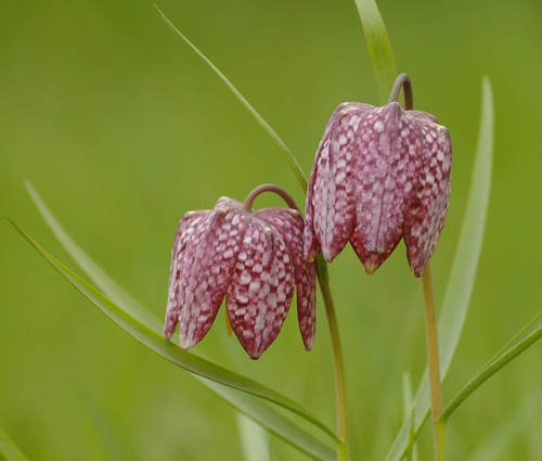 Fritillaria meleagris - Kievitsbloem