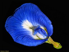 Deep Blue (Clitoria ternatea) (Photo Plus 1 (Kamran Ahmed)) Tags: supershot aplusphoto colourartaward goldstaraward flickrlovers
