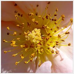Encuadre macro sobre el corazn de una rosa (Gonzlez-Alba) Tags: flower color macro flor rosa amarillo polen petalo encuadre estambre galba flickrlovers floresporlapaz gonzlezalba