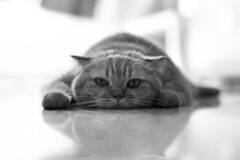 Sultry (babykailan) Tags: bw cute cat canon interestingness furry singapore explore sultry pancake scottishfold  phat splat baobao ef50mmf14usm 40d catrug flattestcatonflickr gormanholbertbwaction httpwwwblurbcombookstoredetail213708