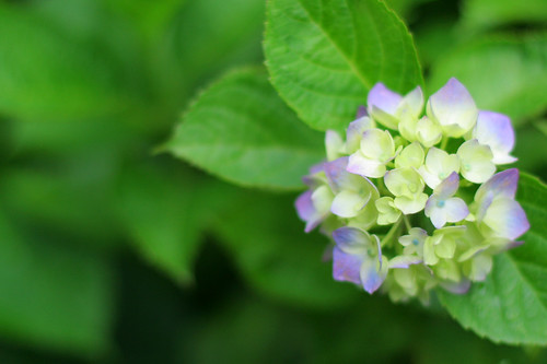 hydrangea: young blue
