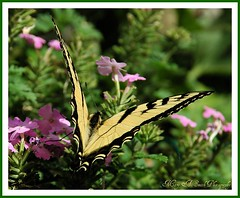 The Eastern Tiger Swallowtail Butterfly ~ (**Mary**) Tags: toronto ontario canada nature yellow butterfly insect ilovenature wings wildlife urbannature swallowtail patternsinnature easterntigerswallowtailbutterfly ccmpbutterfly