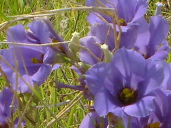 Texas Blue Bells (maorlando God kept us 2012 leaning on Him 2013) Tags: travel flowers blue usa macro nature creation wildflowers smalltowns burleson johnsoncounty texasbluebells texasscenes