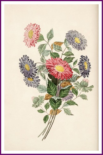 009-The China Aster