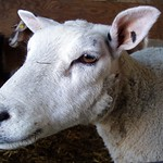 sheep portrait thumbnail