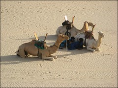 Camels and Tuaregs (Tim Little) Tags: africa desert mali timbuktu camels nomads tuareg timbuctou timbuktoo