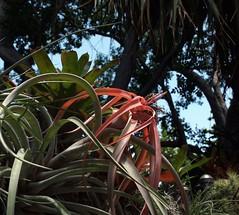 Flowering Air Plant (Key West Wedding Photography) Tags: flowers flower gardens garden florida secret nancy bloom keywest cayobo blooms secrets secretgarden forrester helenbo secretgardens nancyssecretgarden namcyforresterssecretgarden nancyforrester