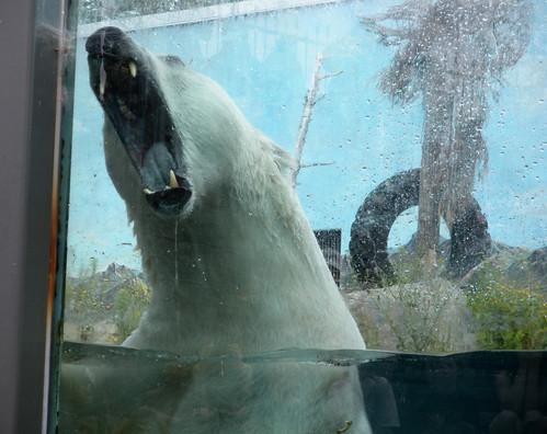 Ours polaire aquarium de Québec