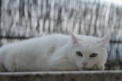 Miau (Ryoko) Tags: white cat gato felino miau mascotasmiaugatocat