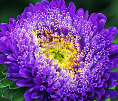 Aster (Habub3) Tags: travel flowers plant macro nature germany deutschland photo flora nikon blumen blau makro landesgartenschau aster bingen d300 naturesfinest prinzess flickr2009 habub3