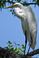 Great Egret (Standing Tall) (NateFischPix) Tags: white bird heron nature birds animal animals closeup outdoors wings san texas nathan natural legs wildlife perched antonio intree fischer whitebird potofgold greatwhiteheron yellowbeak tightshot birdsoftexas nathanfischer natefish3000 natefischpix