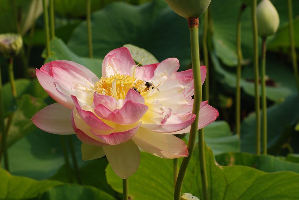 Bees visit a lotus bloom