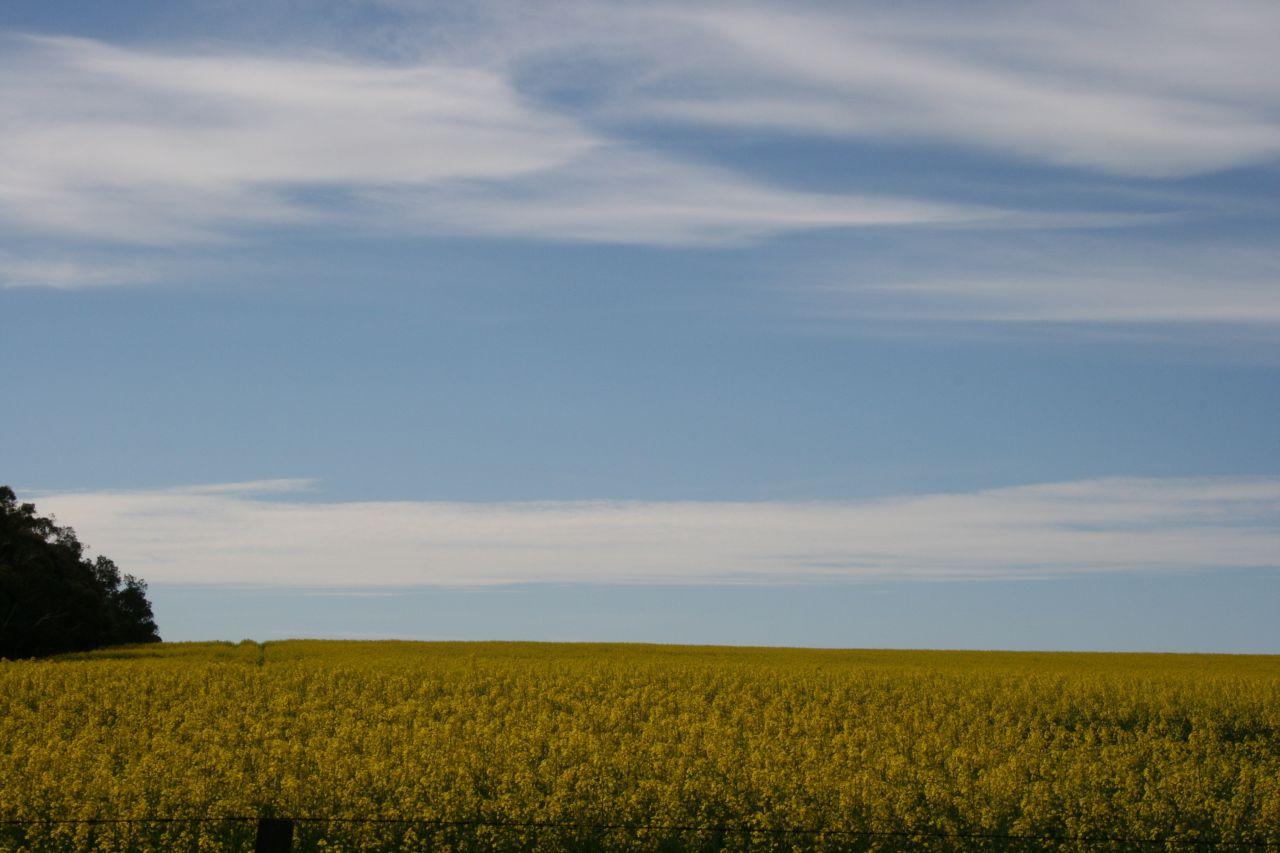 yellow fields5