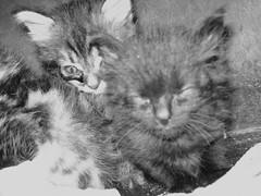 KITTENS (Gioser_Chivas) Tags: cats kittens gatos gato felinos gatitos mascotas minino