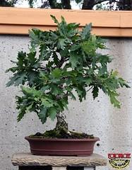 English Oak - Quercus robur Fagaceae - 45 yrs old C20080830 027 (fotoproze) Tags: canada quebec montreal 200 100 300 50 non 2008 bonsa jardinbotaniquedemontreal penjing cnh montrealbotanicalgardens b cy hn   miniaturearbiculture   bonsaje    bonsaitr