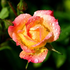 After the Rain (RoystonVasey) Tags: west flower macro rain rose digital canon square eos rebel kiss yorkshire x 100mm after palabra xti 400d flowercolors