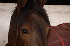 tengo hambre... (FER meinero) Tags: horses criollo caballo gaucho caballocriollo