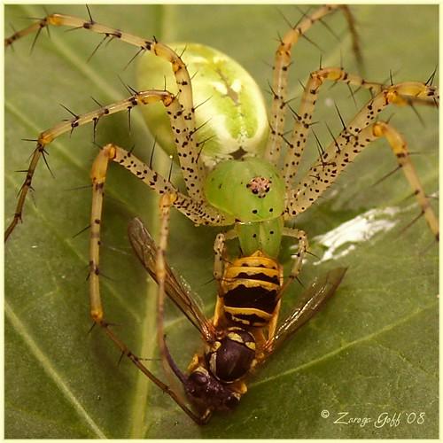 "Green Lynx Spider  ""Peucetia viridans"""