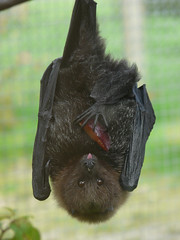 The Phantom Raspberry Blower 3 (Clare L H) Tags: friends nature mammal zoo searchthebest wildlife bat fabulous flamingoland naturesfinest fpc animaladdiction totalphoto golddragon mywinners abigfave platinumphoto anawesomeshot diamondclassphotographer worldofanimals theunforgettablepictures theunforgettablepicture rodriguesfruitbat bestofanimals goldwildlife goldstaraward natureselegantshots qualitypixels damniwishidtakenthat alittlebeauty clhall