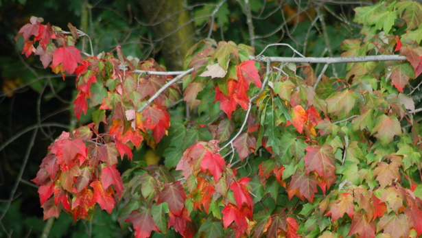 fall_foliage_close