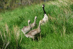 Canada Geese DSC_0434 (Ron Kube Photography) Tags: canada calgary birds geese nikon goose goslings alberta gosling canadagoose canadageese inglewoodbirdsanctuary southernalberta d80 nikond80 carburnpark ronaldok ronkubephotography