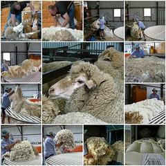 Shearing (JanBran) Tags: wool mosaic australia shearing challengeyouwinner 15challengeswinner friendlychallenges acg1stplacewinner tbacg