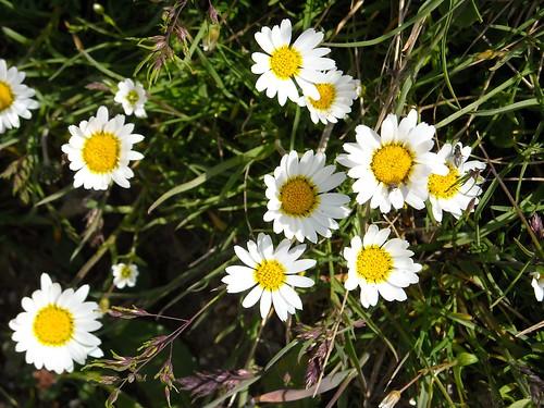 Alpine Maguerite (Leucanthemopsis alpina)