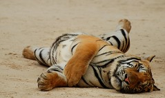 Siesta (me_sid) Tags: thailand nikon tiger kanchanaburi tigertemple d80 royalbengaltiger