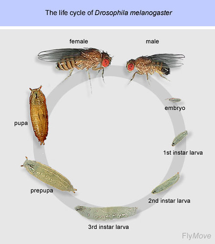 03 Drosophila melanogaster Life Cycle | Flickr - Photo Sharing!