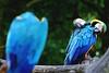 Loneliness (Firdaus Mahadi) Tags: bird birds zoo loneliness bokeh parrot malaysia lonely habitat parrots melaka malacca burung psittacidae cacatuidae kakaktua psittacines zoomelaka nikkor70300vr firdausmahadi firdaus™