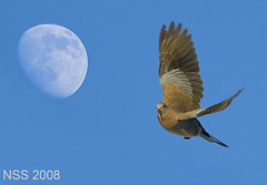 MOON & BIRD (N-S-S) Tags: sunset sea moon bird apple nature birds wow nikon d70 natur sigma natura super best 300mm kuwait nikkor  800 thebest nasser 800mm d300   nss       vwc    d2xs   colorphotoaward  kvwc   rubyphotographer  alsolihem flickrlovers slbflying