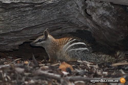 Numbat (Myrmecobius fasciatus)