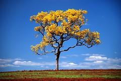 Meu Ip Floridoo!!!! (Jorge L. Gazzano) Tags: cores explore ip rvore nikond80 jorgelgazzano vosplusbellesphotos