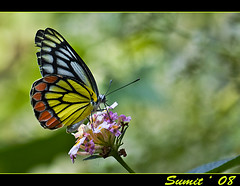 common jezebel butterfly (female) (Sumt Chakraborty) Tags: wild canon butterfly butterflies xsi westbengal 25faves abigfave aplusphot canon450d citrit theperfectphotographer goldwildlife goldstaraward 55250is dragondaggerphoto