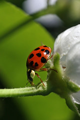 Ladybug exploring (michelle coffey photography) Tags: flower macro insect ladybug betterthangood photograhpersgonewild