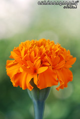 Outdoorgraphy : Being Orange (Sir Mart Outdoorgraphy) Tags: orange flower macro green yellow dof bokeh d0f penangflickr bokehrama awesomeblossoms sirmart outdoorgraphy outdoorgraphy penangflickrgroup