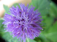 You are so beautiful to me! (UmmAbdrahmaan @AllahuYasser!) Tags: flower purple malaysia bunga terengganu 991 kualaterengganu ungu beladaukolam ummabdrahmaan centrantherumpunctatum