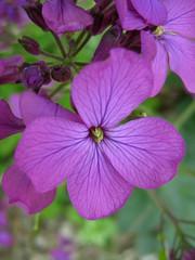 Money Plant (deu49097) Tags: flower moneyplant