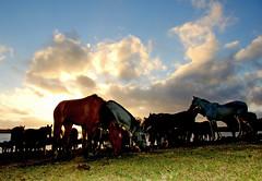 Hora do sossego (Eduardo Amorim) Tags: sunset brazil horses horse southamerica field brasil criollo caballo cheval atardecer caballos tramonto sonnenuntergang prdosol campo cavalos pelotas pferde cavalli cavallo cavalo pferd riograndedosul pampa poniente champ anoitecer coucherdesoleil hest hevonen campanha brsil chevaux entardecer crepsculo  amricadosul poente hst  amriquedusud   sudamrica suramrica amricadelsur  sdamerika crioulo caballoscriollos criollos  tropillas  costadoce americadelsud tropilhas tropilla  crioulos cavalocrioulo americameridionale caballocriollo auffangen eduardoamorim cavaloscrioulos