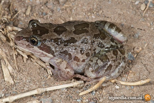 Spotted marsh frog (Limnodynastes tasmaniensis)