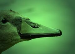 Junger Schwan / Young Swan (Fotohobbit (busy)) Tags: green birds animals tiere swans grün vögel schwäne naturesfinest panasoniclumixdmcfz28