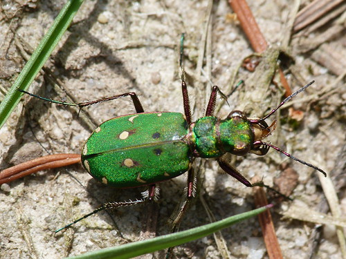 Green Tiger Beetle (Cicindela campestris) by Peter Orchard
