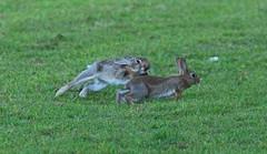 A fearsome rebuttal (-Porsupah-) Tags: wild summer rabbit bunny june escape wildlife chase pounce lagomorph 2011 teethbared leporidae earsdown