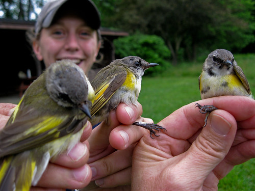 American Redstart Bachelor Party