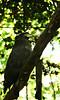 eagle (pixelplated) Tags: philippines palawan canonef24105mmf4lisusm palawanwildliferescueandconservationcenter