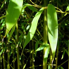 Parc de Maulévrier - Feuilles de bambou