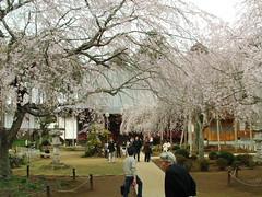 妙宣寺のしだれ桜