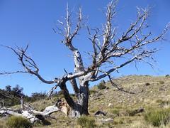 Fitz Roy - trek - arbre
