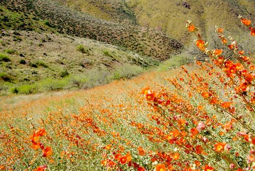 Meadows of desert globemallow - Sonoran Desert wildflowers.