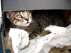 Cats and boxes: always together (Kitty & Kal-El) Tags: pet animal cat feline tabby gato felino tigrinho tabbycat kalel cc100 kissablekat bestofcats camfma08